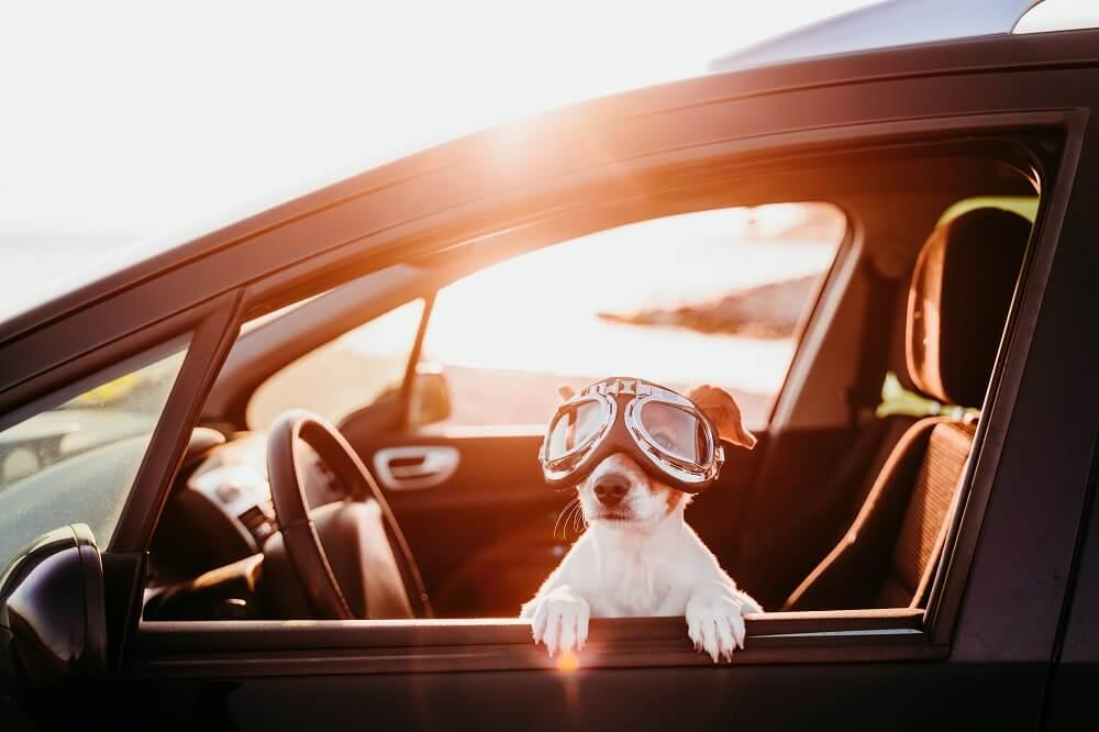 bezpieczeństwo zwierząt w samochodzie